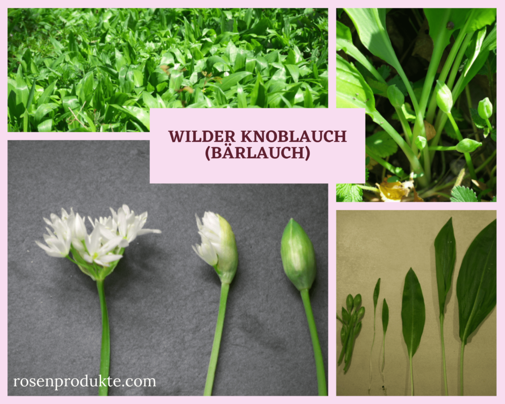 wilder Knoblauch (Bärlauch) Blätter, Blüten, Knospen